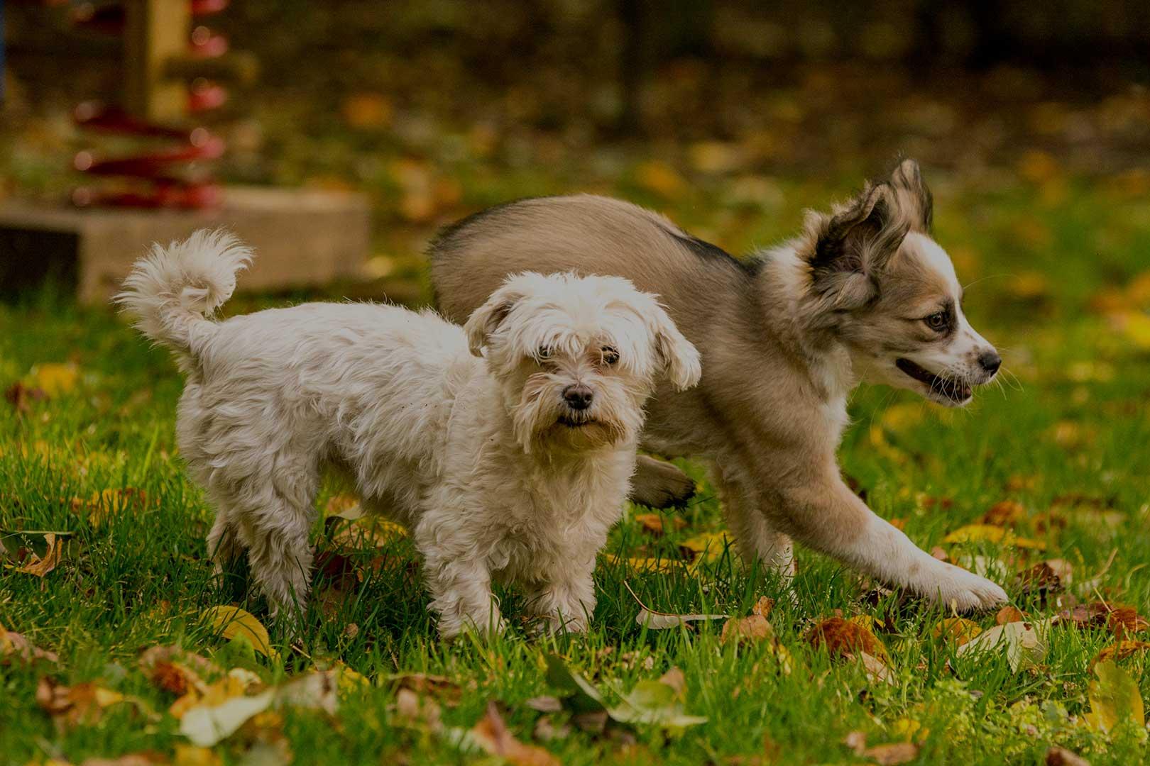 Hunde-Paar1620X1080_OPA30