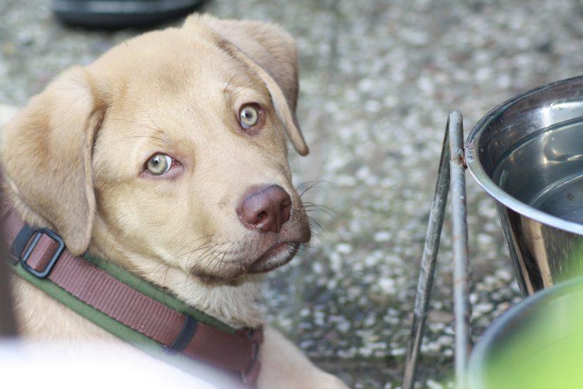 Rübe Labrador Rüde