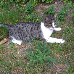 Herminchen – 1 Jahre alte getigerte Katze